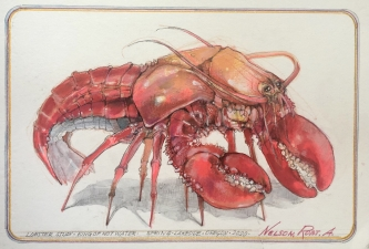Robert A. Nelson |     King of Hot Water- Lobster Study, 2020 |    Pencil, colored pencil, aqua-media |    10 1/2  x 17 |    $1,000. SOLD